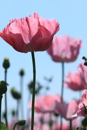 opiate: A Poppy Meadow
