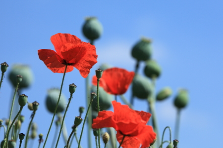 A Poppy Meadow photo