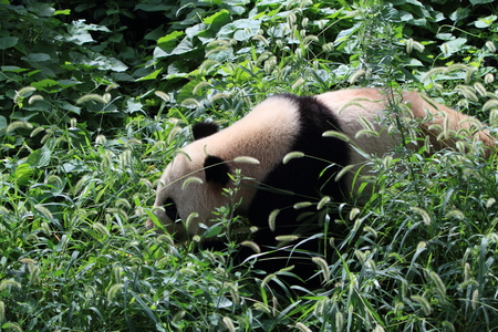 pandabeer: Big Panda Bear