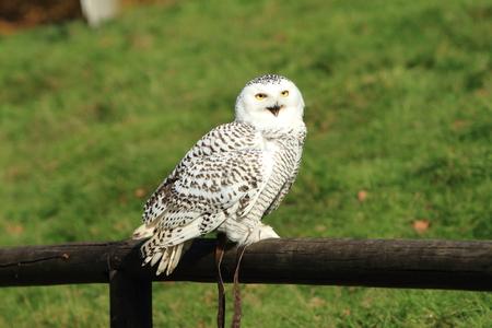 Snowy Owl Stock fotó