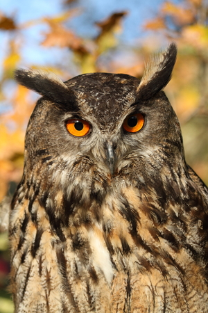 strigiformes: Eagle Owl