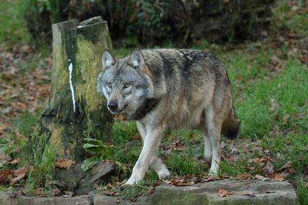 Wolves Standard-Bild