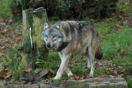Wolves Stock Photo
