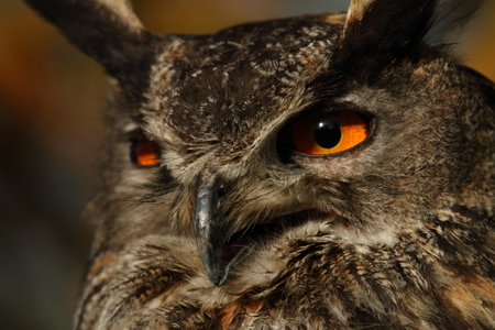 nocturnal: Eagle Owl