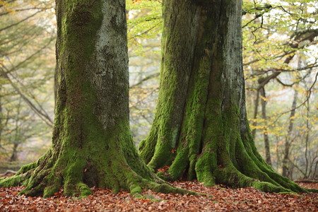 tree trunk: Old Trees of the Reinhard Forest in Germany Stock Photo