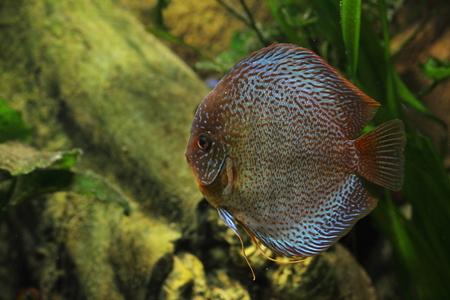 pez disco: Pescados del disco Foto de archivo