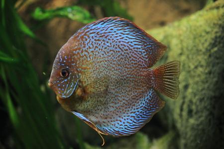 cichlids: Discus Fish