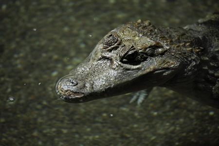 subtropics: Crocodile Alligator e Cayman Archivio Fotografico