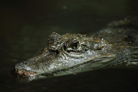 cayman: Crocodile Alligator and Cayman