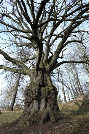 trunk  tree: Lime Troncos