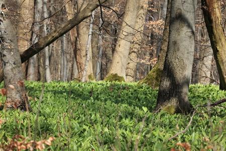 gypsies: Wild garlic in the forest Stock Photo