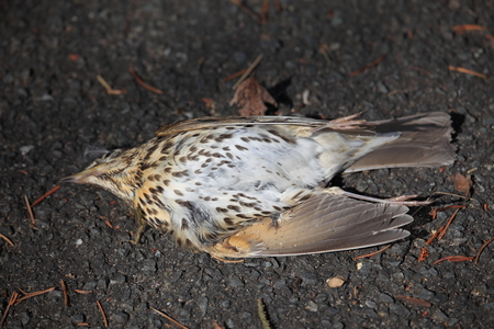 turdidae: Throttle dead on the roadside Stock Photo