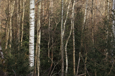 impenetrable: Birch Forest Stock Photo