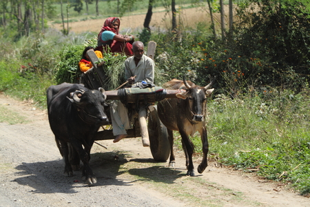 country living: ox barrow in road traffic of india