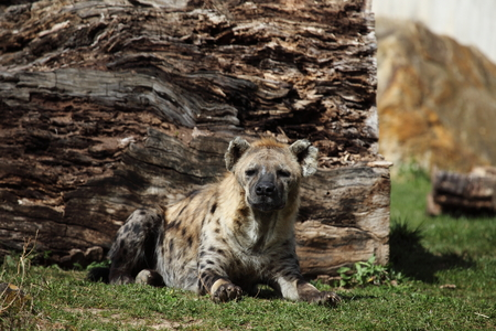spotted: A Spotted Hyena