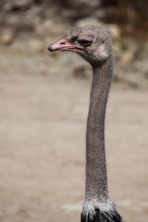 avestruz: Avestruz africano