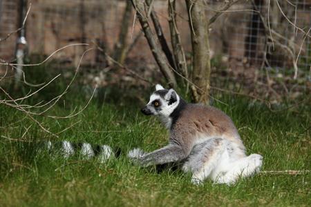 omnivore: Katta Lemurs