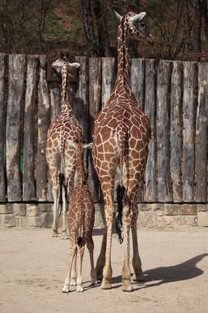 ruminant: Giraffe in the Savanne