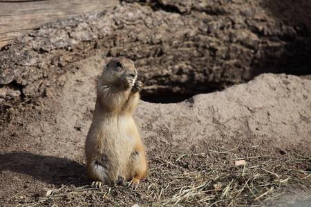 prairie dog: American Prairie Dog