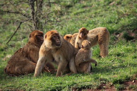 barbary: Barbary Macaque