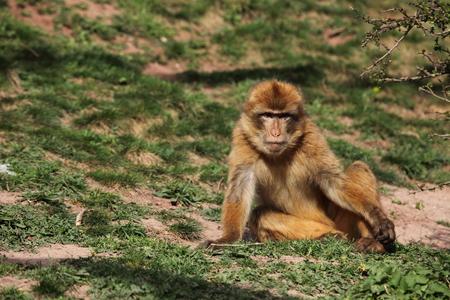 macaque: Barbary Macaque