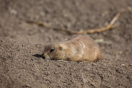 prairie: American Prairie Dog