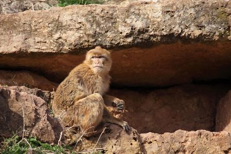 barbary ape: Barbary Macaque