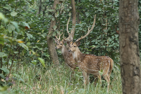 axis deer: Axis Deer in the jungles of Nepal