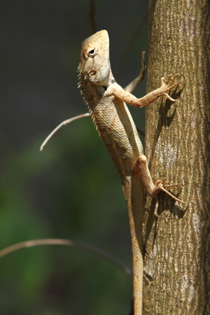 Brown lizard in Bardia National Park Nepal photo