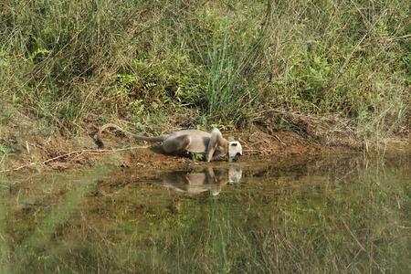 humane: Hanuman langurs in Bardia National Park Nepal