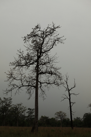 severe weather: Old trees in Bardia National Park Nepal