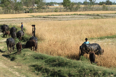thresh: Agriculture in Nepal