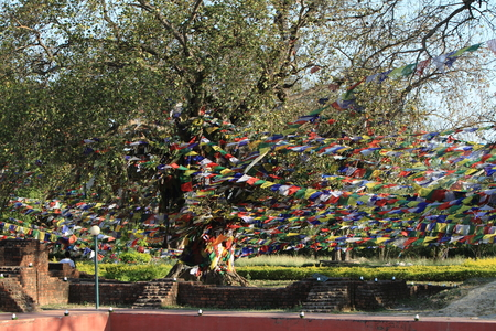 gautama: Bodhi tree in Lumbini Buddha