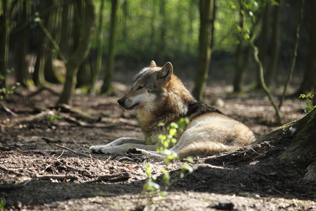 carnivora: An European Wolf in the Forest