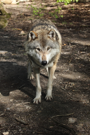 eurasian wolf: An European Wolf in the Forest