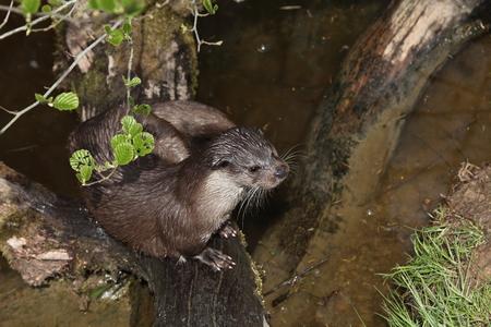 otter: European Otter in the Wild Life Stock Photo