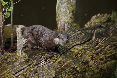 carnivora: European Otter in the Wild Life Stock Photo