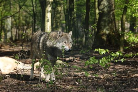 lobo feroz: Un Lobo europeo en el Bosque