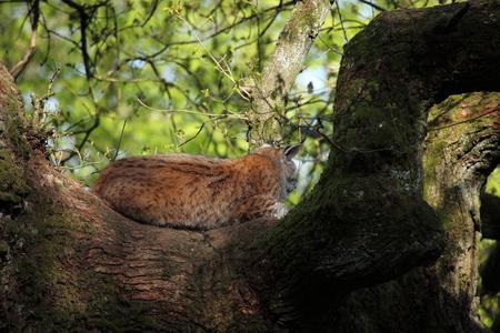 carnivora: Eurasian Lynx