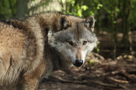An European Wolf in the Forest