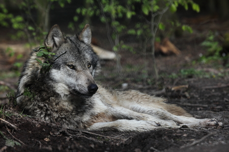 lobo: Un Lobo europeo en el Bosque