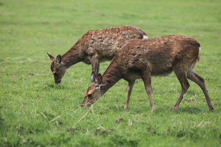 sika deer: Sika deer in the forest