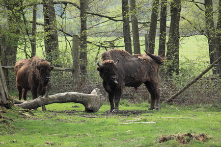 ruminant: The European Bison on a Meadow