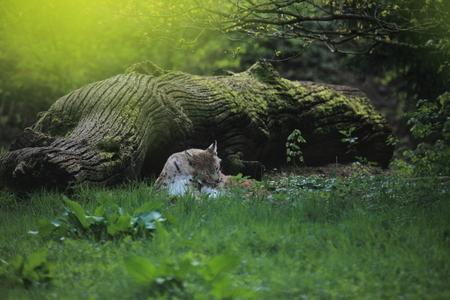 lince: Lince eurasiático Foto de archivo