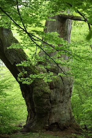 Oude eik in het nationale park Reinhardswald in Duitsland