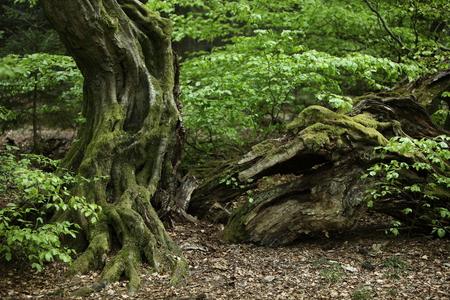 hornbeam: Old Hornbeam in the Forest Stock Photo