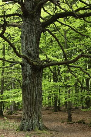 Oude Eik in het Nationaal Park Reinhardswald in Duitsland