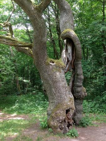 Oude Eik in de Nationale Hainich in Duitsland