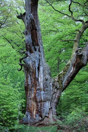 Oude Eik in het Nationaal Park Reinhardswald Duitsland