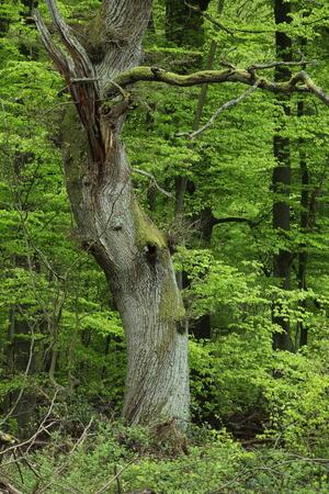 Oude eik in het nationale park Reinhardswald, Duitsland Stockfoto